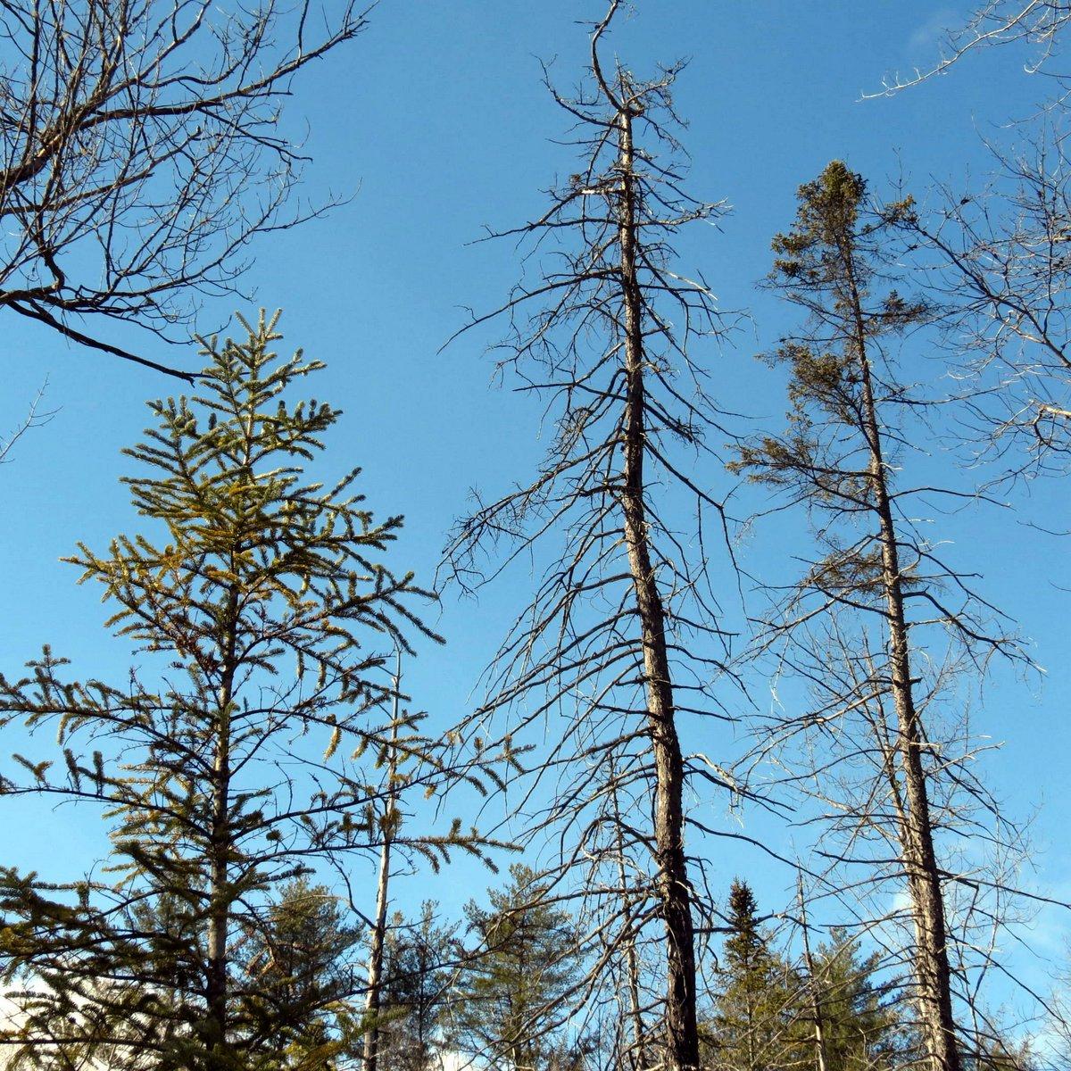 Pine Beetle Tree Image 04