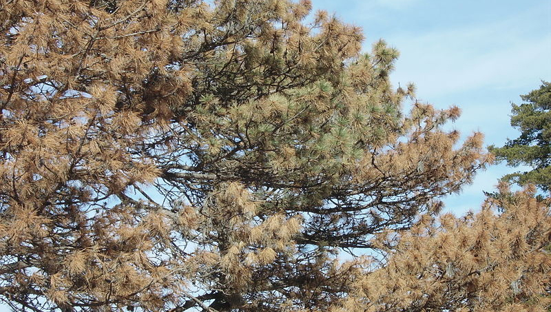 Pine Beetle Tree Image 05